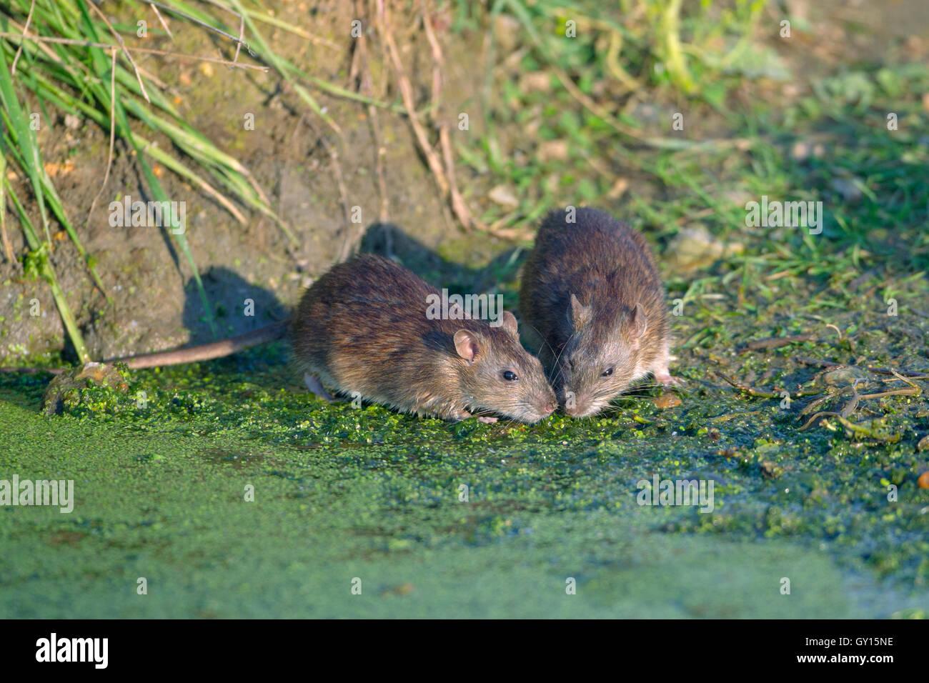 Braune Ratten Rattus Norvegicus Fütterung Stockbild