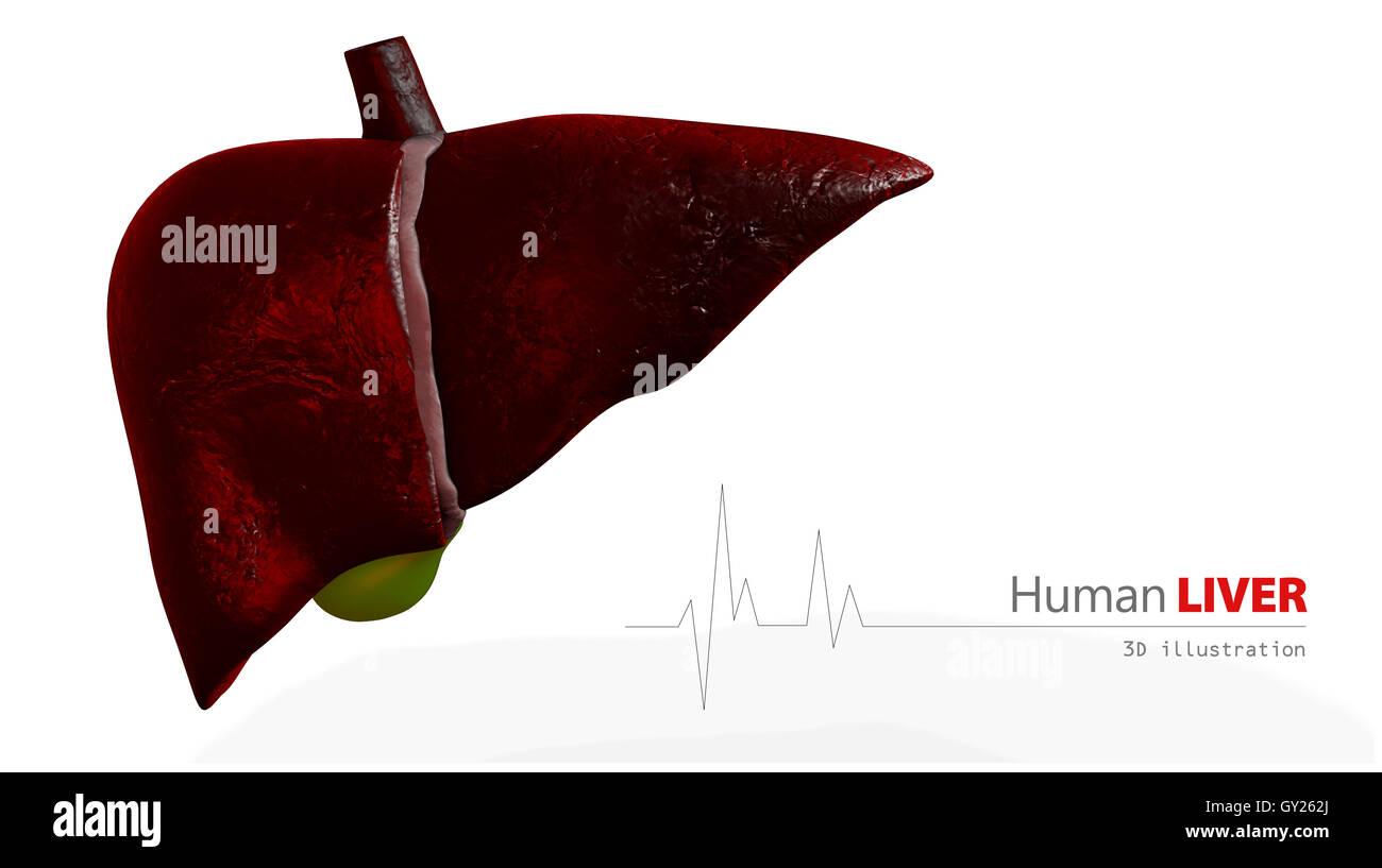Liver Anatomy Stockfotos & Liver Anatomy Bilder - Seite 2 - Alamy