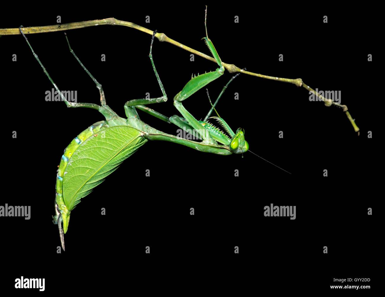 Neotropische Gottesanbeterin (weiblich), Familie der Gottesanbeterinnen (Mantidae), Amazonas Regenwald, Canande Stockbild