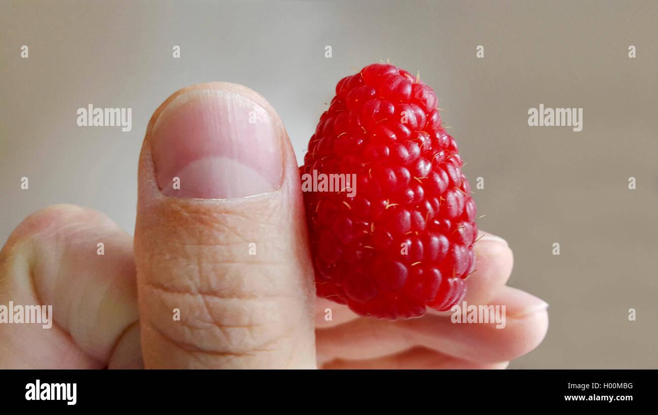 Himbeere (Rubus Idaeus), Einzelne Himbeere in Einer Hand, Deutschland | Europäische Rote Himbeere (Rubus Idaeus), Stockbild