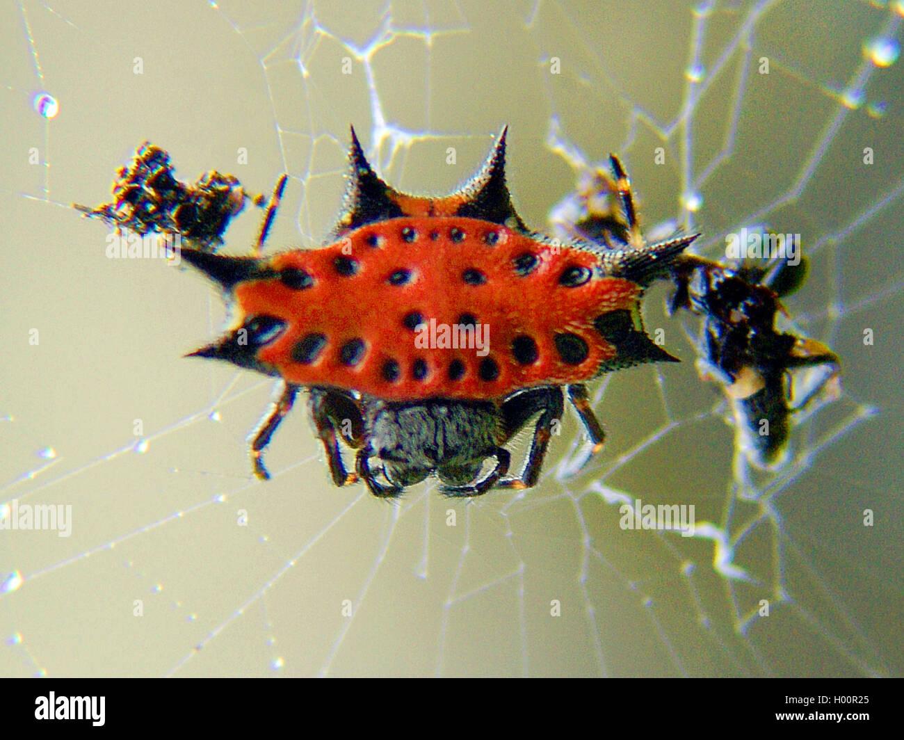 Radnetzspinne, Radnetz-Spinne, Gastercantha Cancriformis (Gastercantha Cancriformis) in Dachmarke Netz, Costa Rica Stockbild