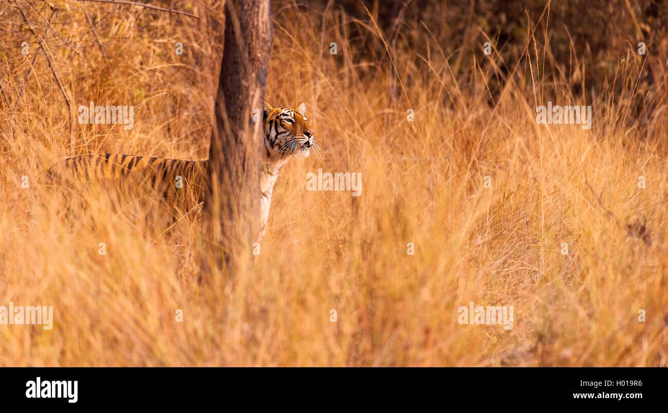Koenigstiger, Indischer Tiger (Panthera Tigris Tigris), Bengaltiger gut Getarnt Im Hohen Gras, Indien, Tadoba Nationalpark Stockbild