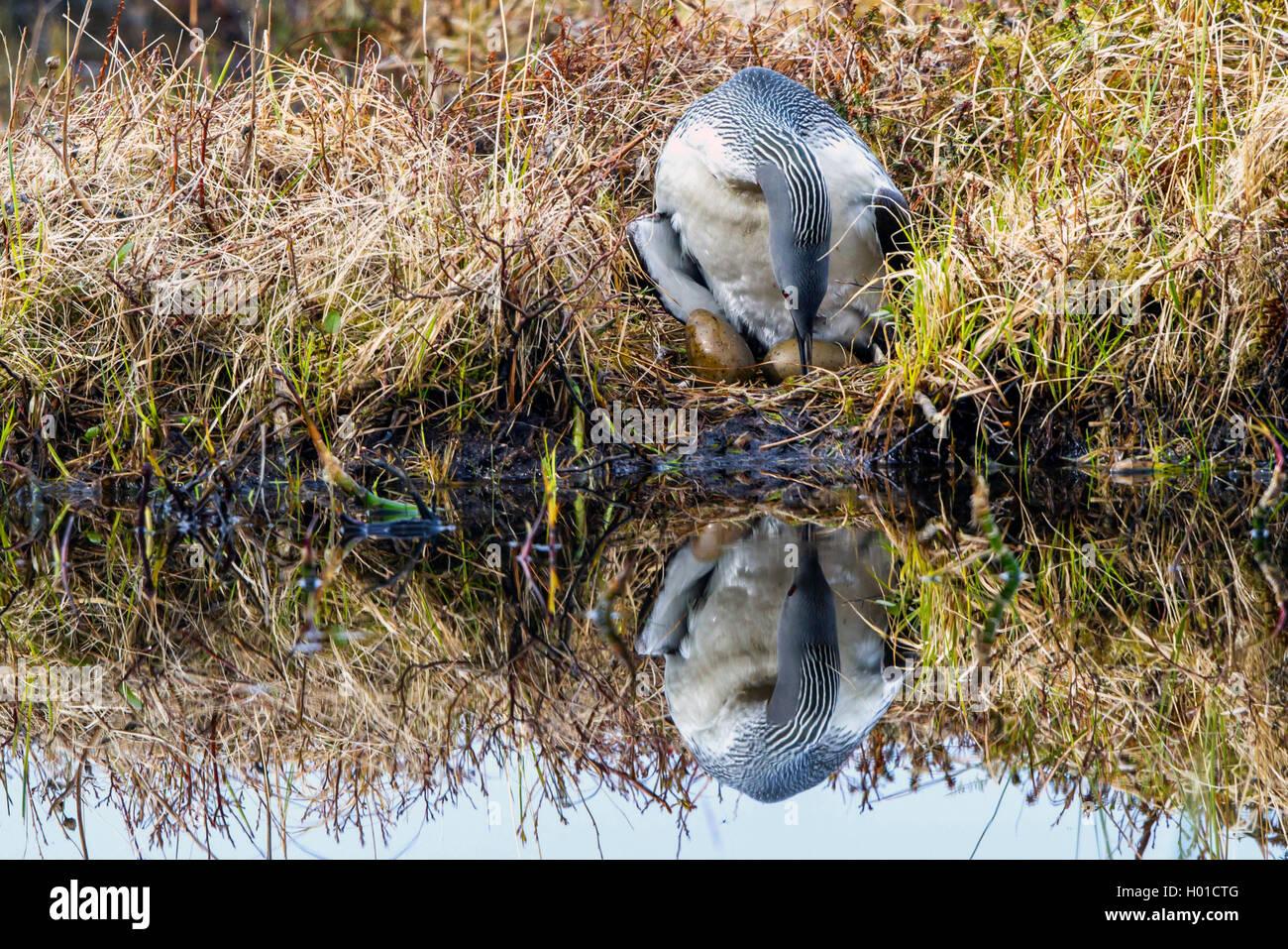 Sterntaucher, Stern-Taucher (Gavia Stellata), Dreht Die Eier Im Nest, Norwegen, Lofoten | Sterntaucher (Gavia Stellata), Stockbild