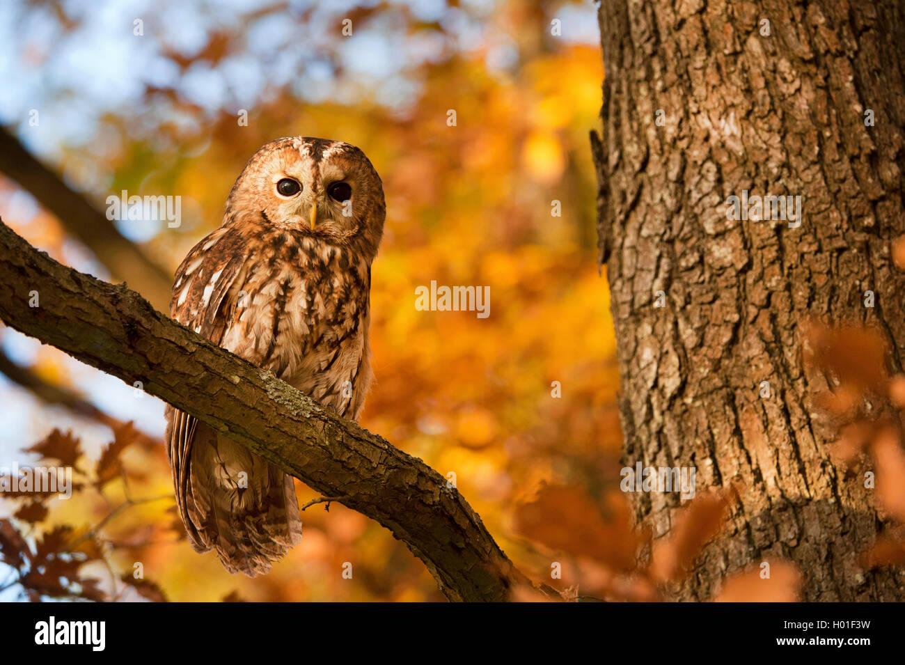 Waldkauz, Wald-Kauz (Strix Aluco), Sitzt Auf Einem Ast Im Herbst, Deutschland | Eurasische Waldkauz (Strix Aluco), Stockbild