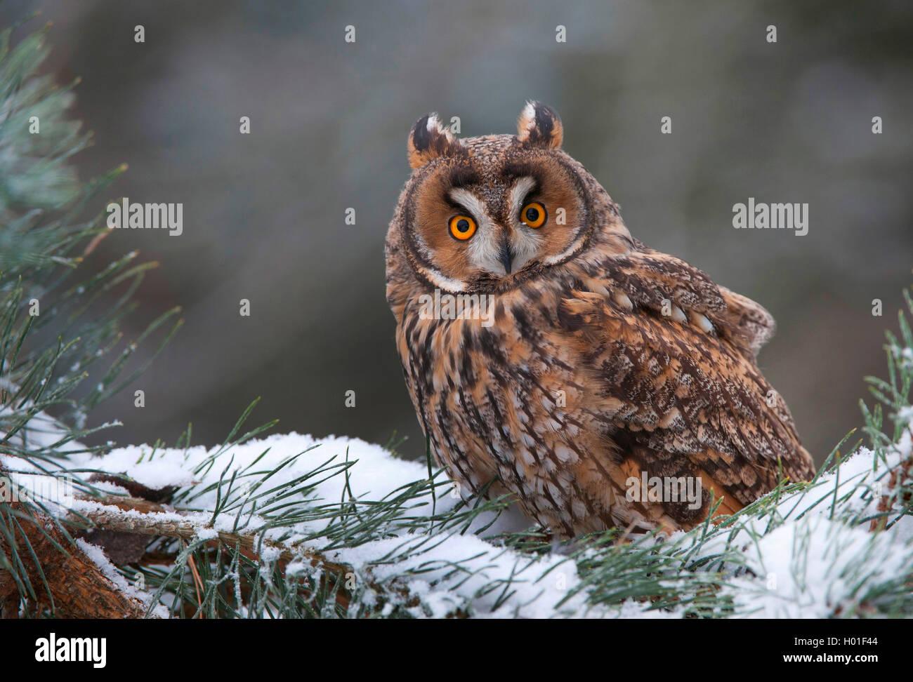 Waldohreule (Asio Otus), die Waldohr-Eule Sitzt Auf Einem Schneebedecktem Nadelbaumast, Deutschland, Bayern | Waldohreule Stockbild