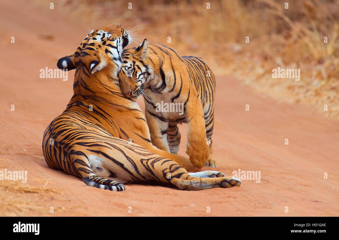 Koenigstiger, Indischer Tiger (Panthera Tigris Tigris) Bengaltiger, Weibchen Mit Jungtier, Indien, Tadoba Nationalpark Stockbild