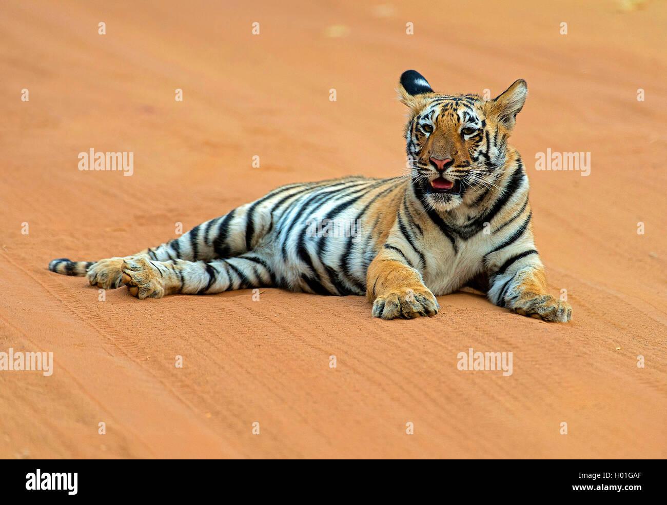 Koenigstiger, Indischer Tiger (Panthera Tigris Tigris), Bengaltiger Sechs Monate ändern Bengaltiger, Indien, Stockbild