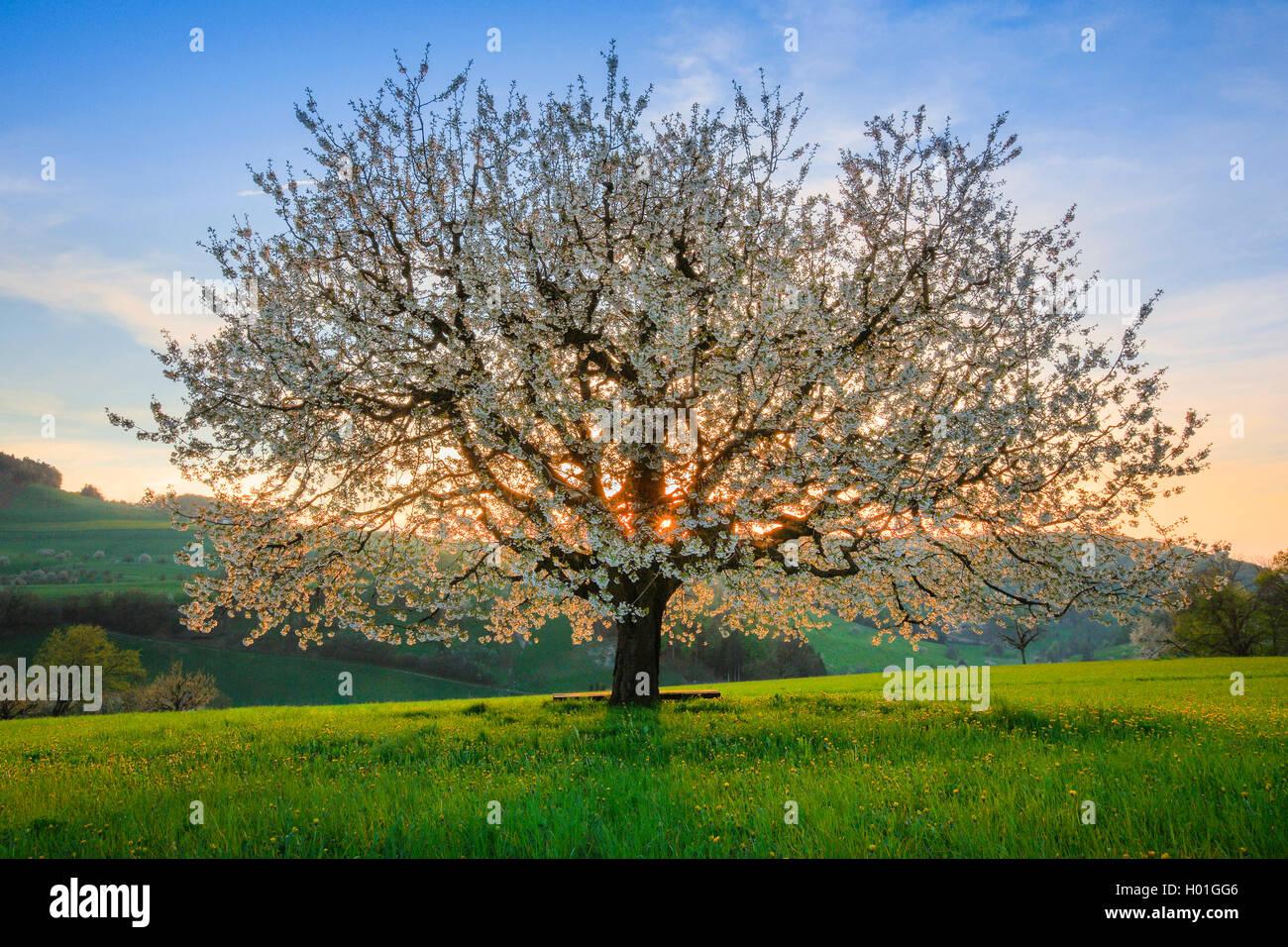 suess ueberzeugt suesskirsche kirschbaum kirsch baum prunus avium bluehender kirschbaum im. Black Bedroom Furniture Sets. Home Design Ideas