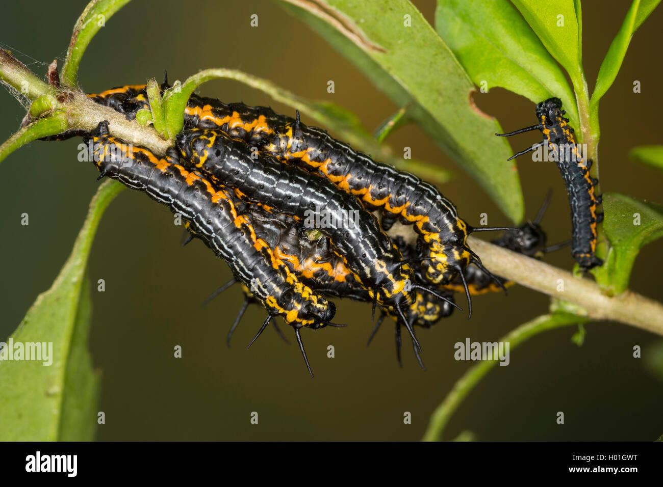 Europaeische Brahmaspinner (Brahmaea Europaea, Bramaea Europaea, Acanthobrahmea Europaea, Acanthobramea Europaea), Stockbild