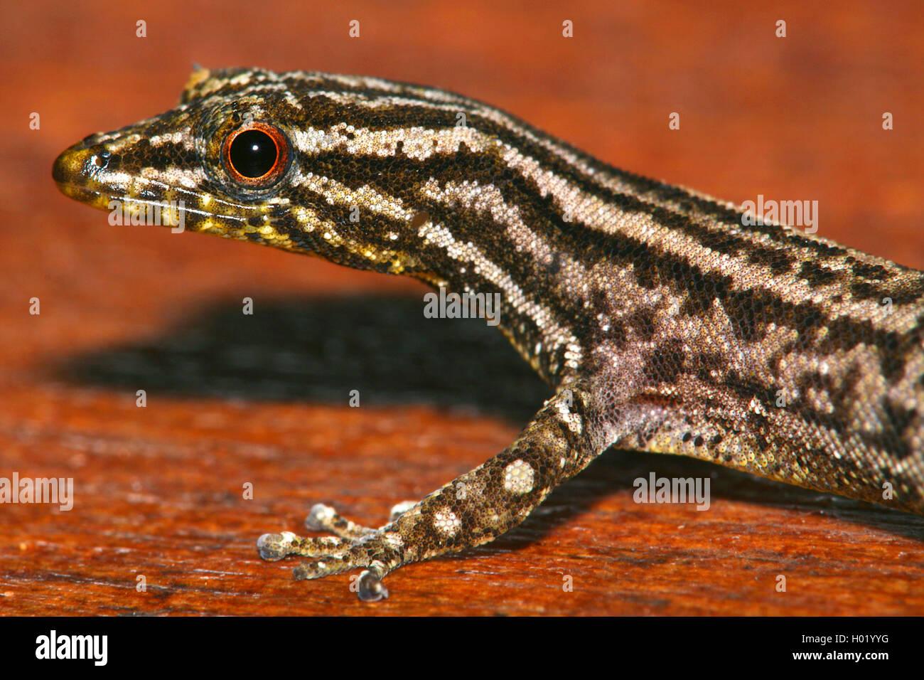 Marked-Throated Pigmy Gecko (Sphaerodactylus graptolaemus), Porträt, Costa Rica Stockfoto