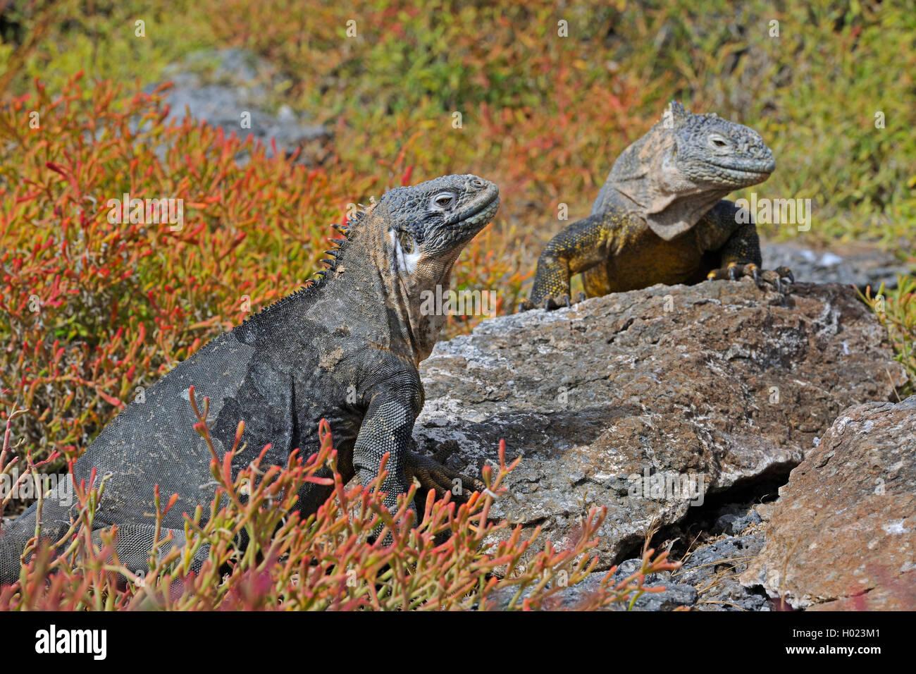 Galapagos landleguan galapagoslandleguan drusenkopf for Boden englisch