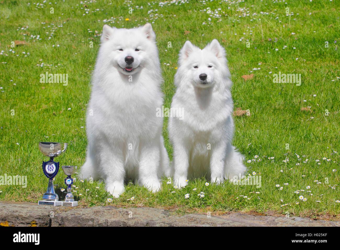 Samojede, Samojeden, Samoiedskaïa Sabaka (Canis Lupus F. Familiaris), Zwei Samojeden Nebeneinander Auf der Stockbild
