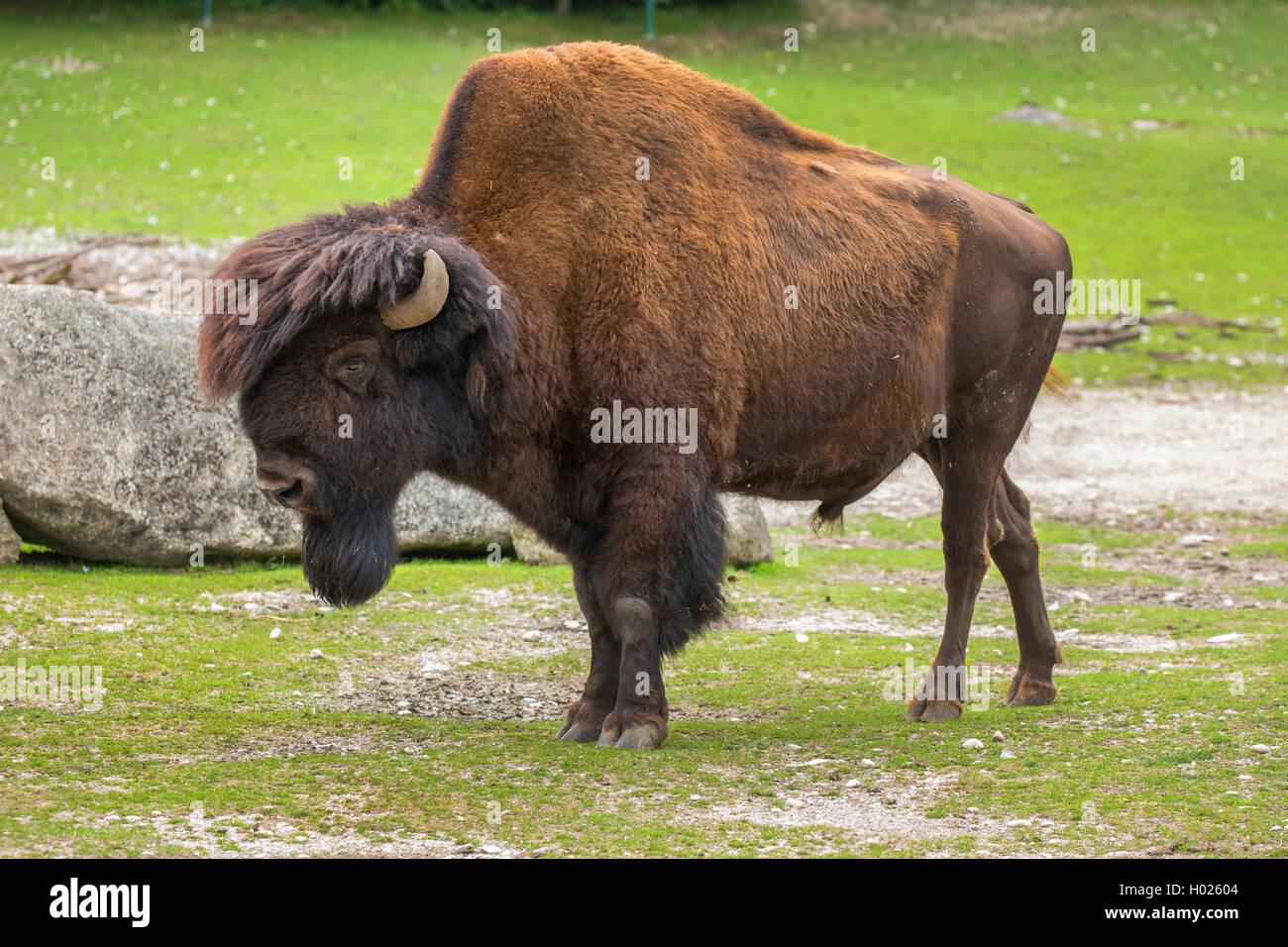 amerikanischer bison waldbison bueffel bison bison athabascae bisonbulle im zoo. Black Bedroom Furniture Sets. Home Design Ideas