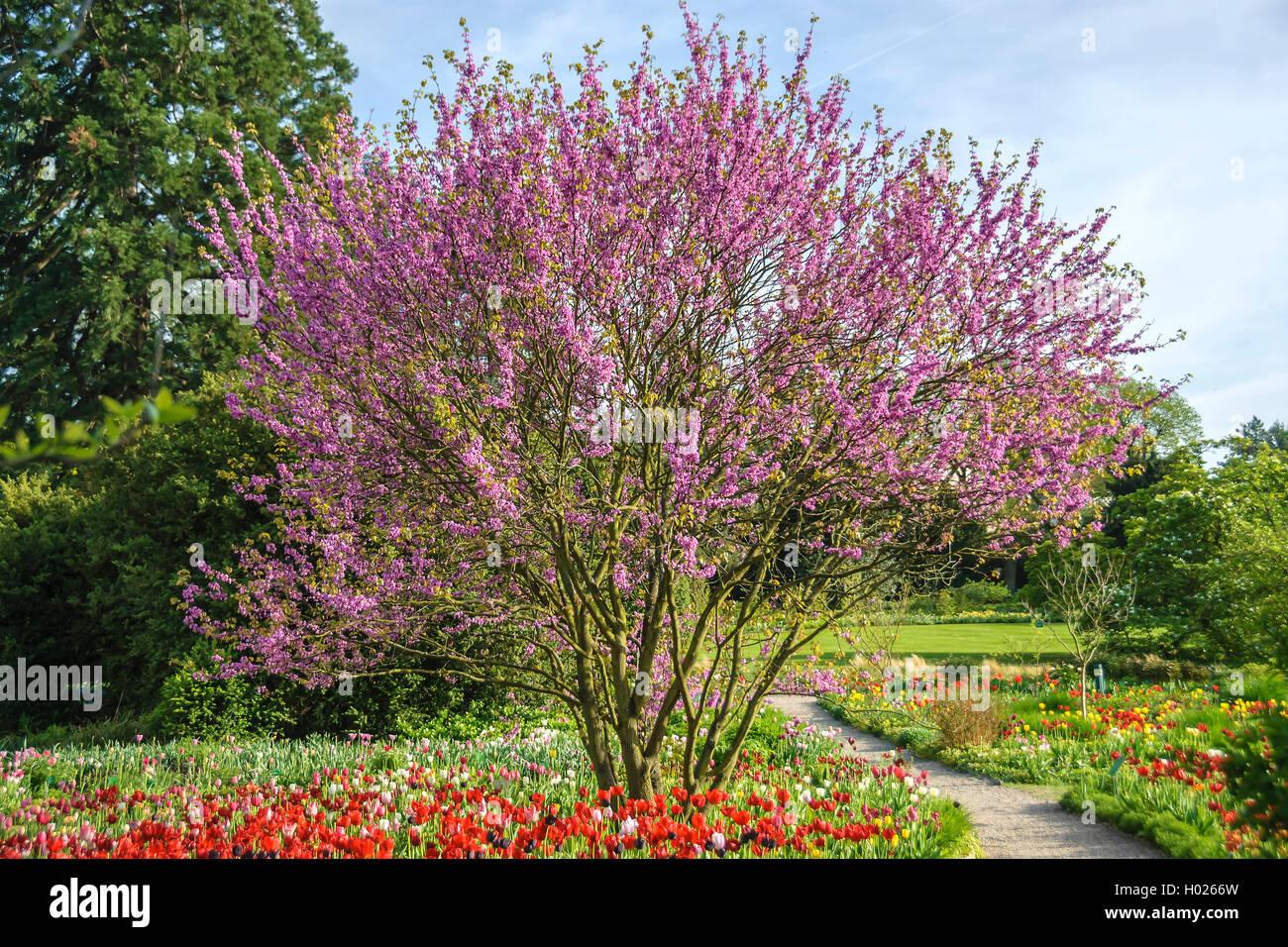 judasbaum gewoehnlicher judasbaum cercis siliquastrum bluehender baum mit tulpenbeet. Black Bedroom Furniture Sets. Home Design Ideas