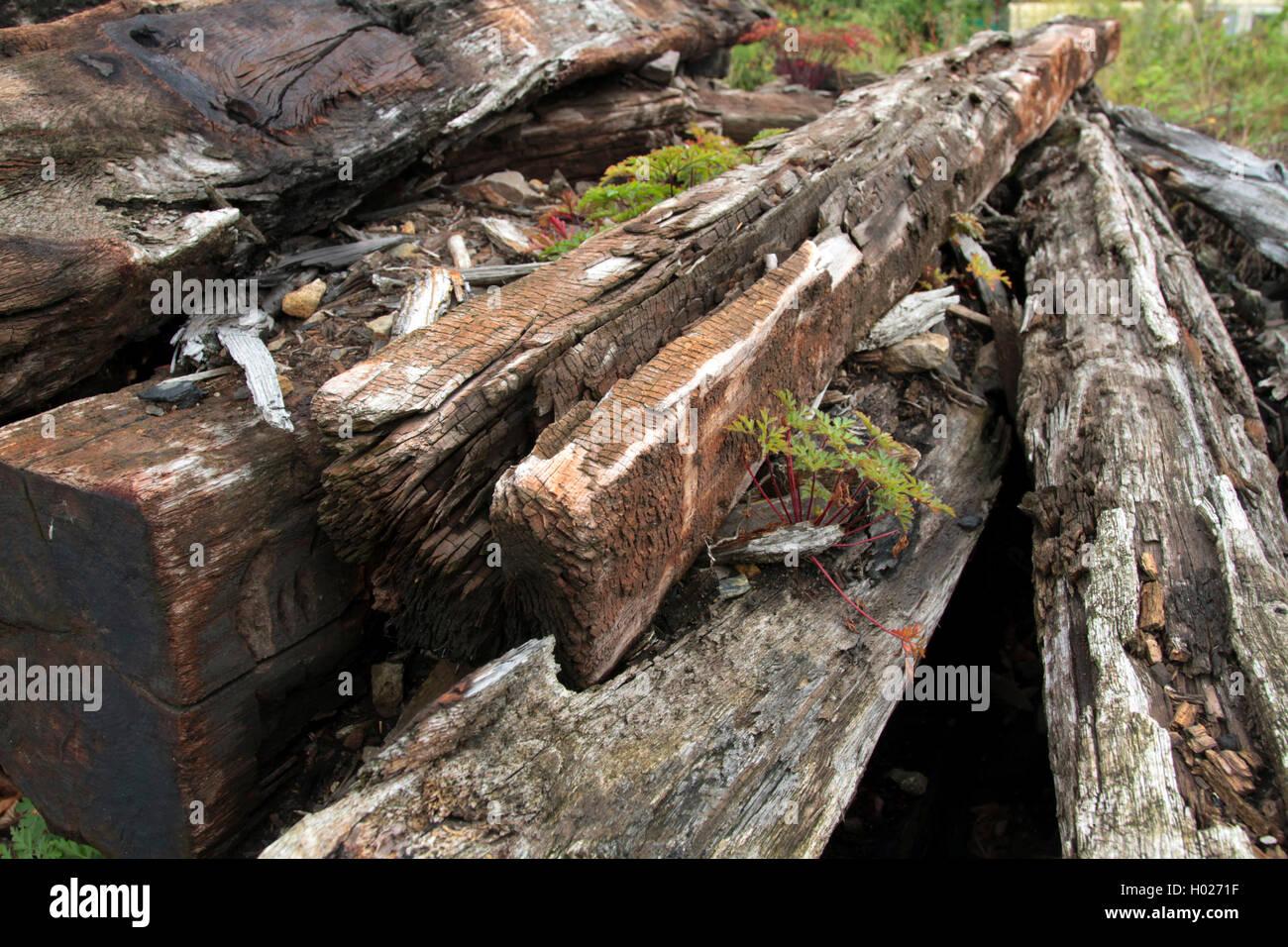 RUPRECHTSKRAUT, Ruprechtkraut, Stinkender Storchschnabel, Stink-Storchschnabel, Stinkstorchschnabel (Geranium Robertianum, Stockbild