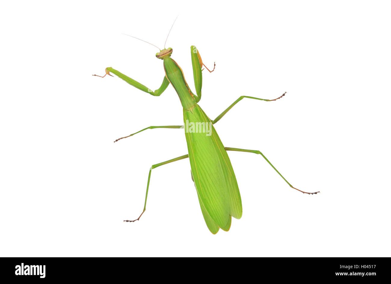 Praying Mantis isoliert auf weißem Hintergrund Stockbild