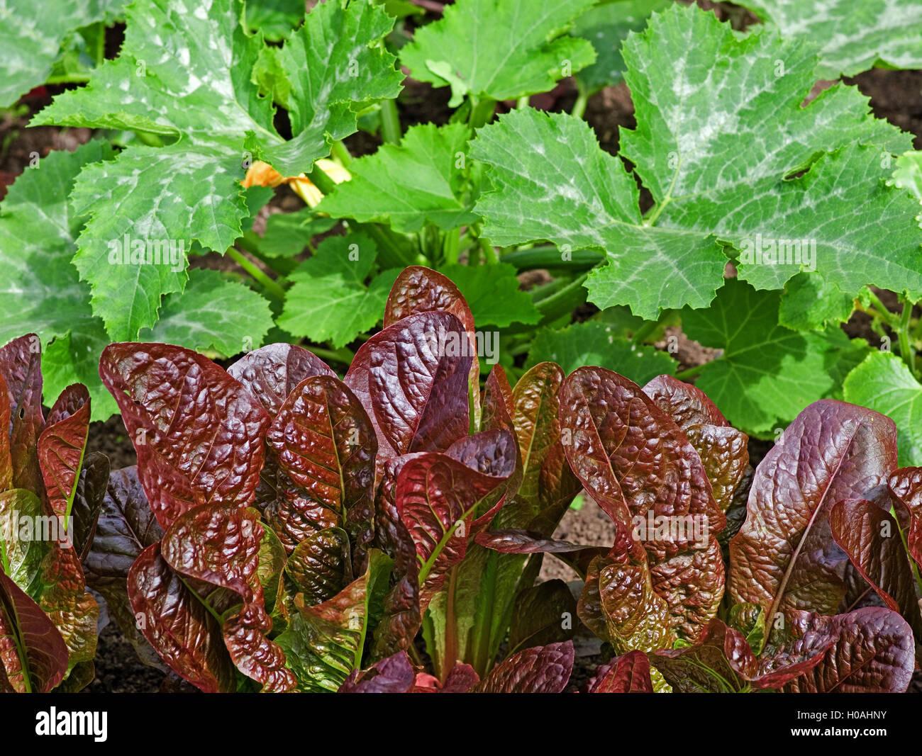 """Reihe von rot-blättrig """"Rosedale"""" Kopfsalat Pflanzen wachsen im Garten vor Zucchini Pflanzen im Sommersonnenschein, Stockfoto"""