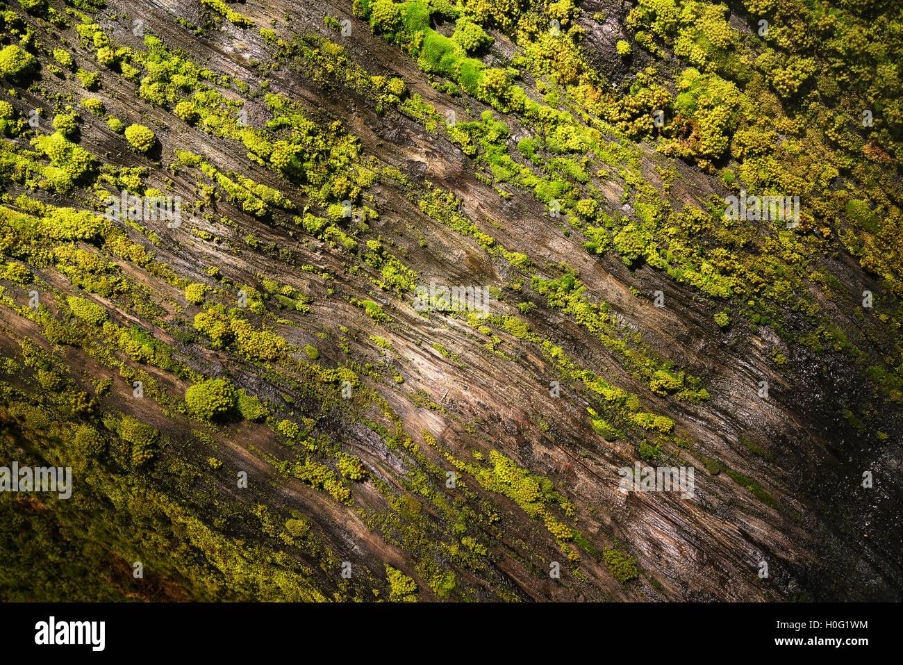 Moos bedeckte Mammutbaum im Sequoia National Park Stockbild