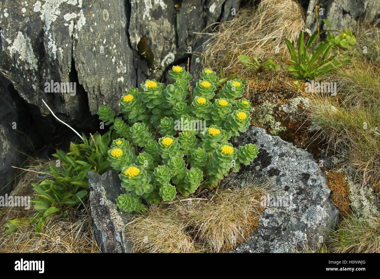 Goldmoss Fetthenne (Sedum acre), Tundra, Fjäll, Nordnorwegen, Norwegen, Skandinavien Stockbild