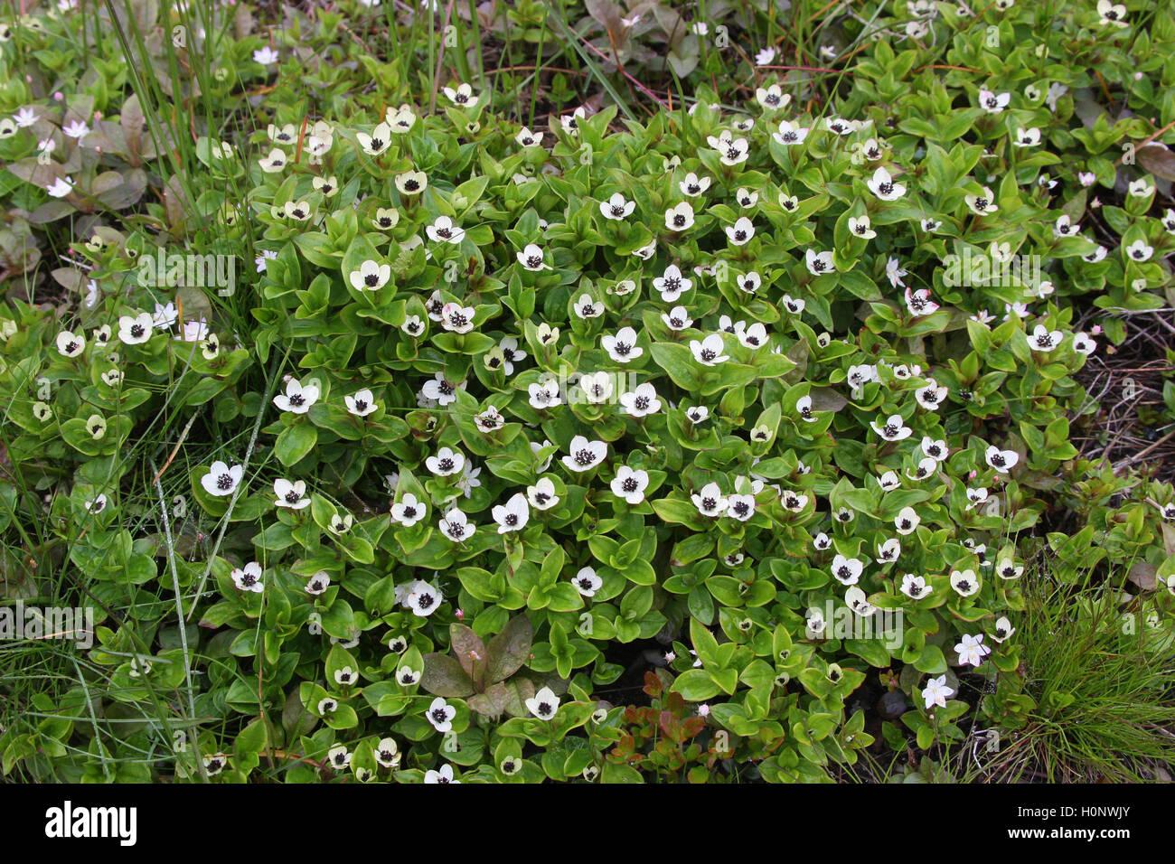 Zwerg Kornelkirsche (Cornus Suecica), Blumen, Tundra, Fjäll, Nordnorwegen, Norwegen, Skandinavien Stockbild