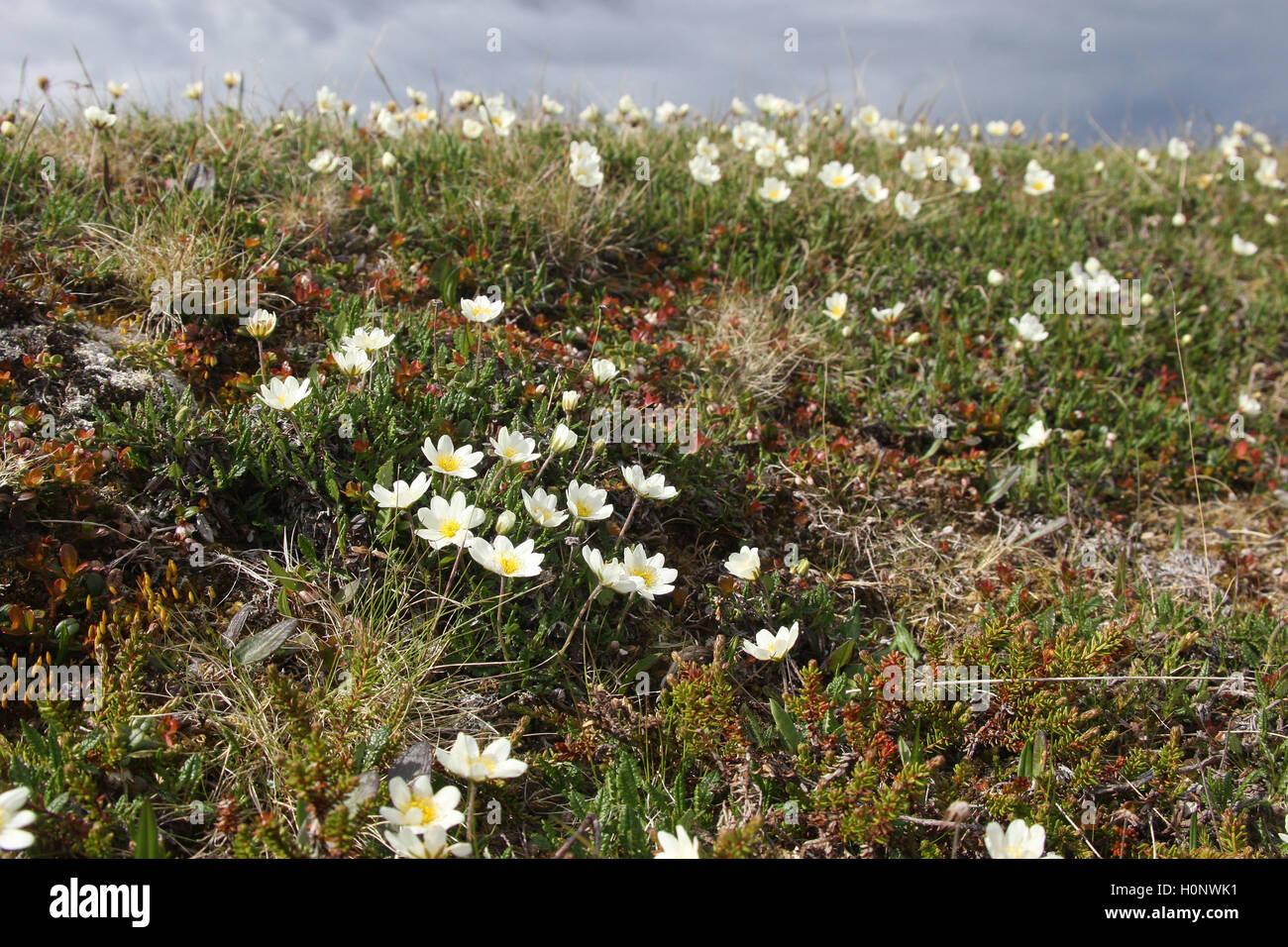 Berg avens (Dryas octopetala), Tundra, Fjäll, Nordnorwegen, Norwegen, Skandinavien Stockbild