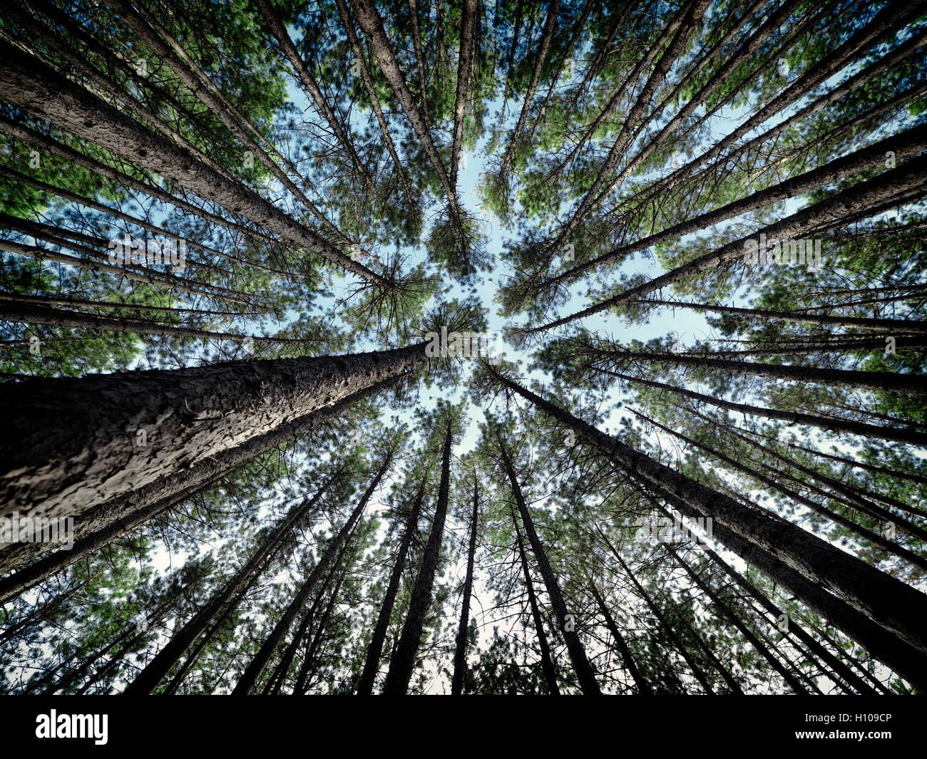 Künstlerische abstraktes Bild von hohen Pinien Wald Baumkronen über blauer Himmel, Muskoka, Ontario, Kanada Stockfoto