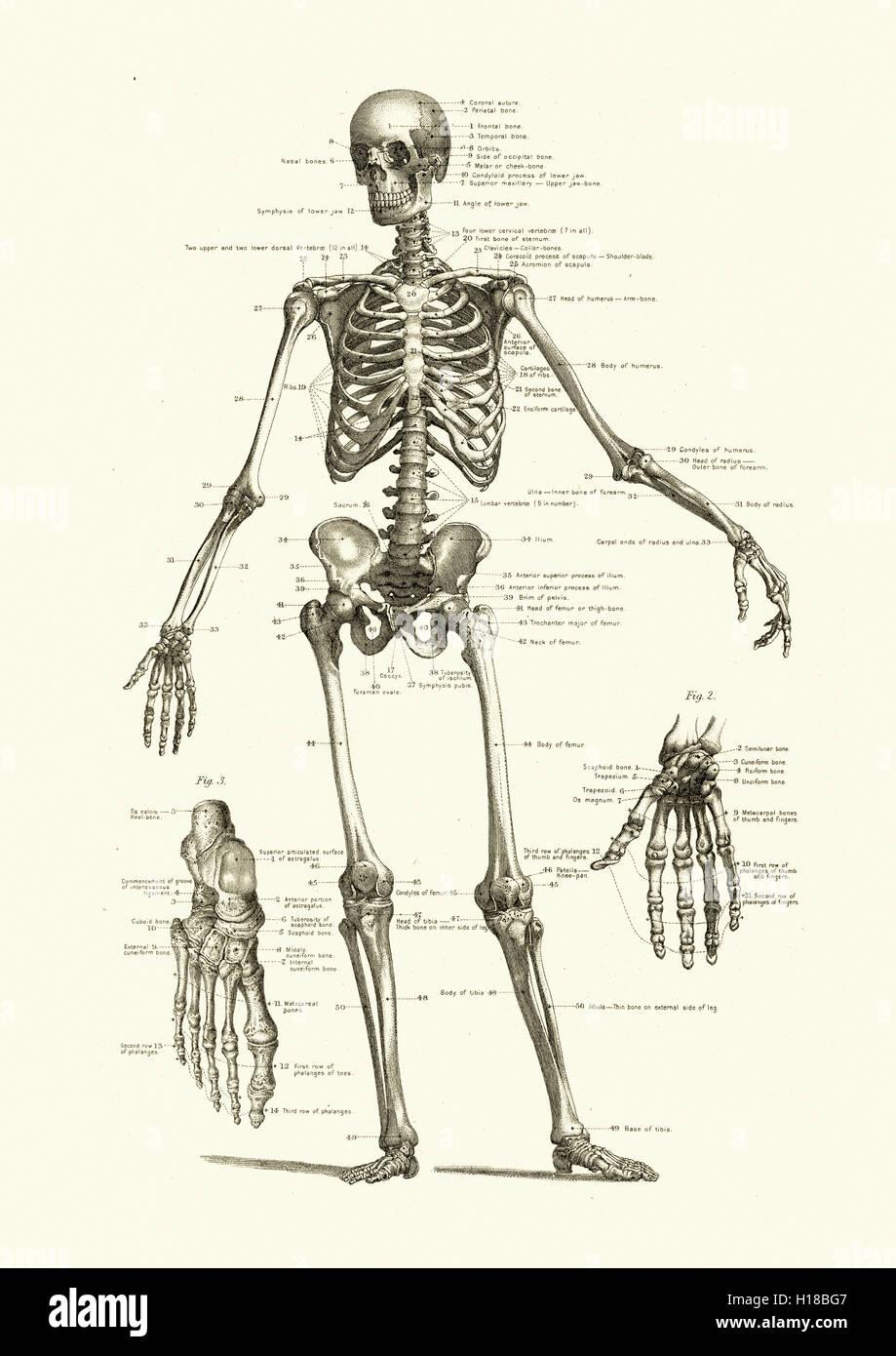 Menschliches Skelett mit den Knochen des Körpers Stockbild