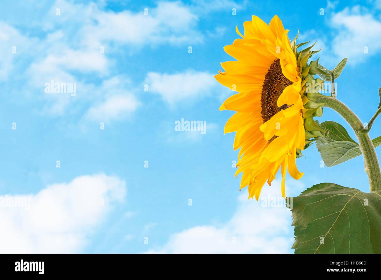 Nahaufnahme der Sonnenblume vor blauem Himmel Stockbild
