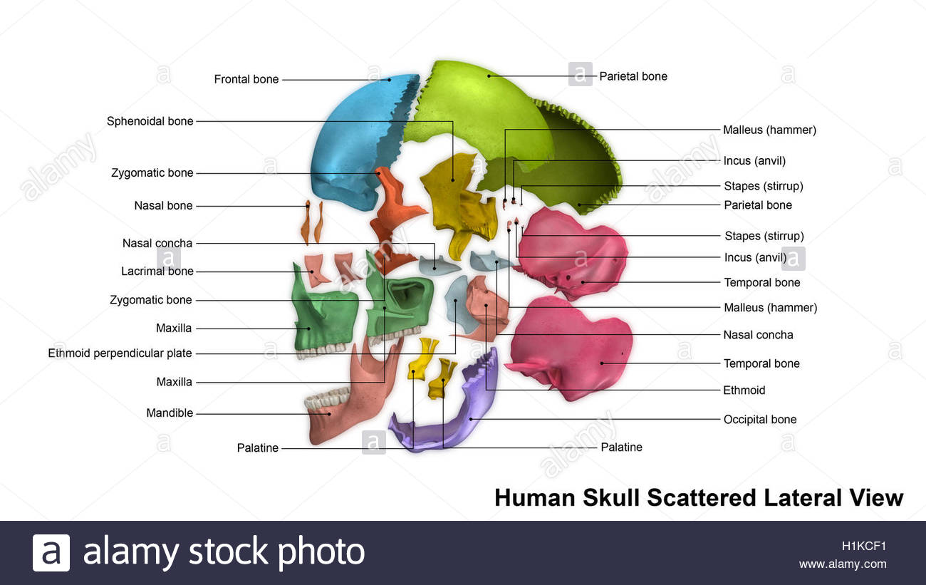 Medical Skeleton Old Bones Human Stockfotos & Medical Skeleton Old ...
