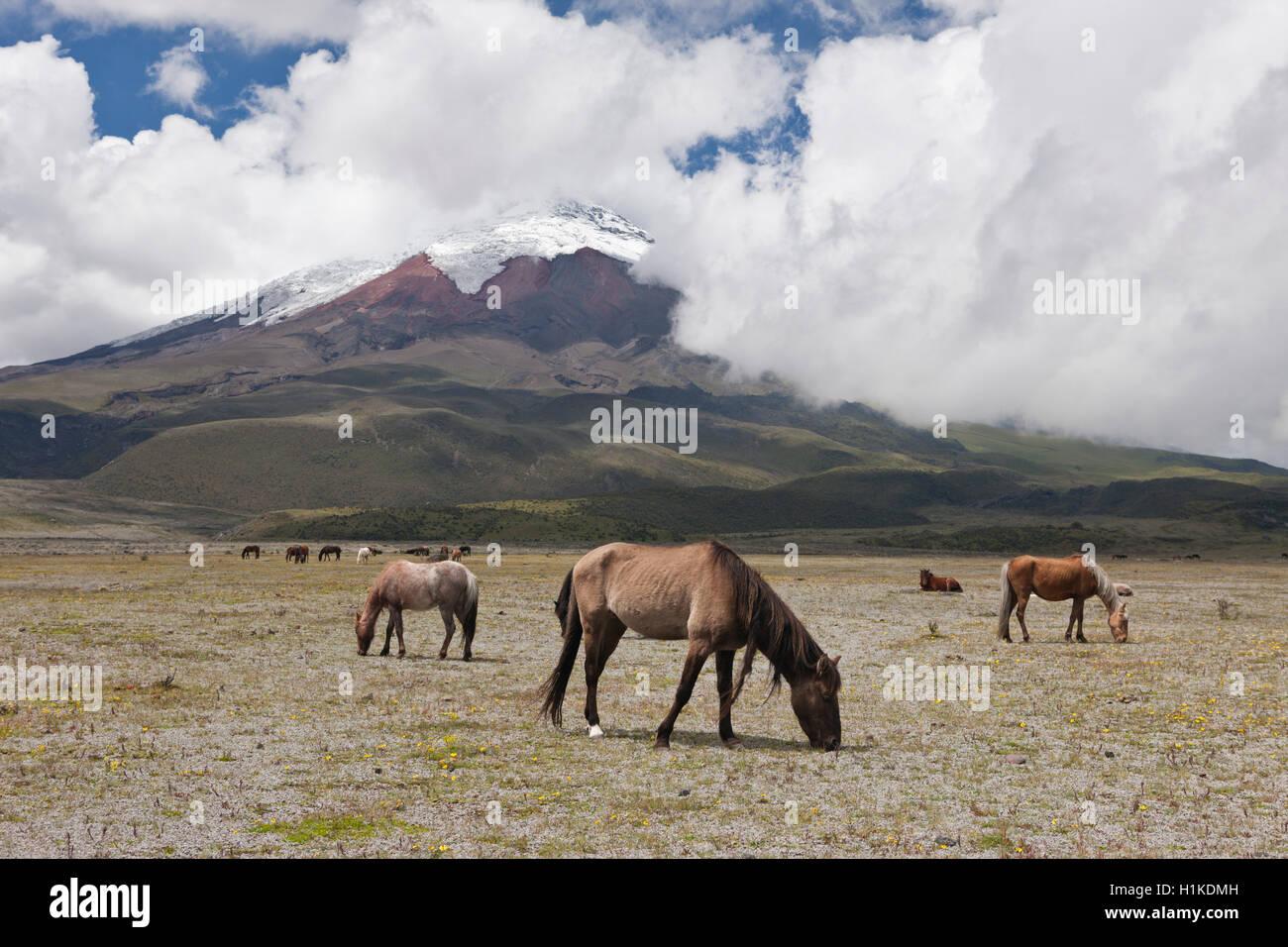 Wilde Pferde grasen in der Nähe von Cotopaxi Nationalpark Cotopaxi, Ecuador Stockbild
