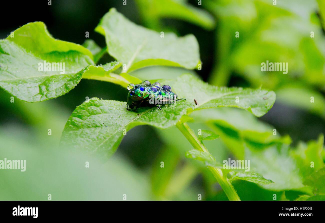 blue green beetle stockfotos blue green beetle bilder. Black Bedroom Furniture Sets. Home Design Ideas