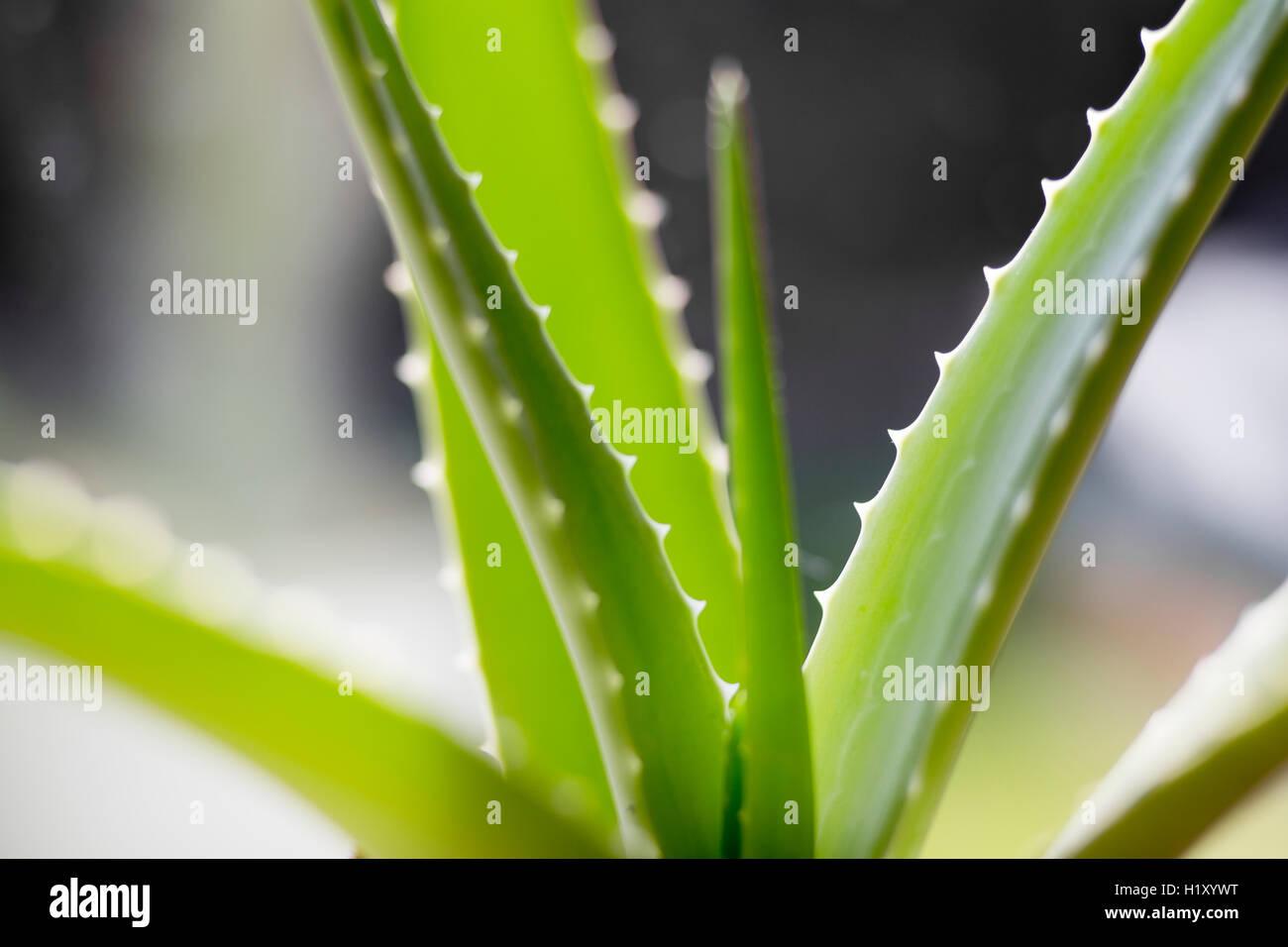Nahaufnahme einer Aloe Vera Pflanze Stockfoto