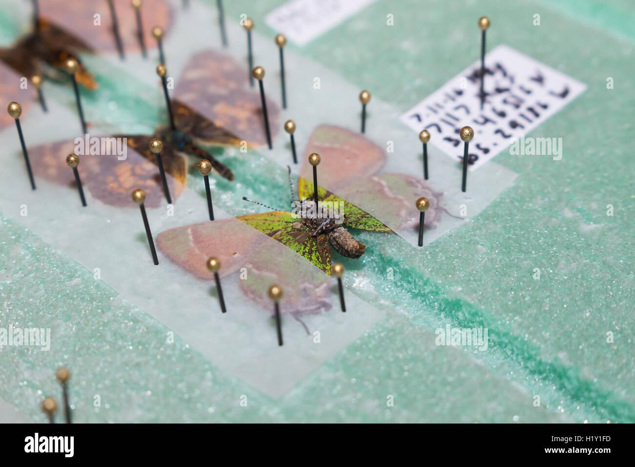 Merken und Ausbreitung Schmetterlinge auf einem sich ausbreitenden Brett, bereitet sie auf eine Sammlung Stockfoto