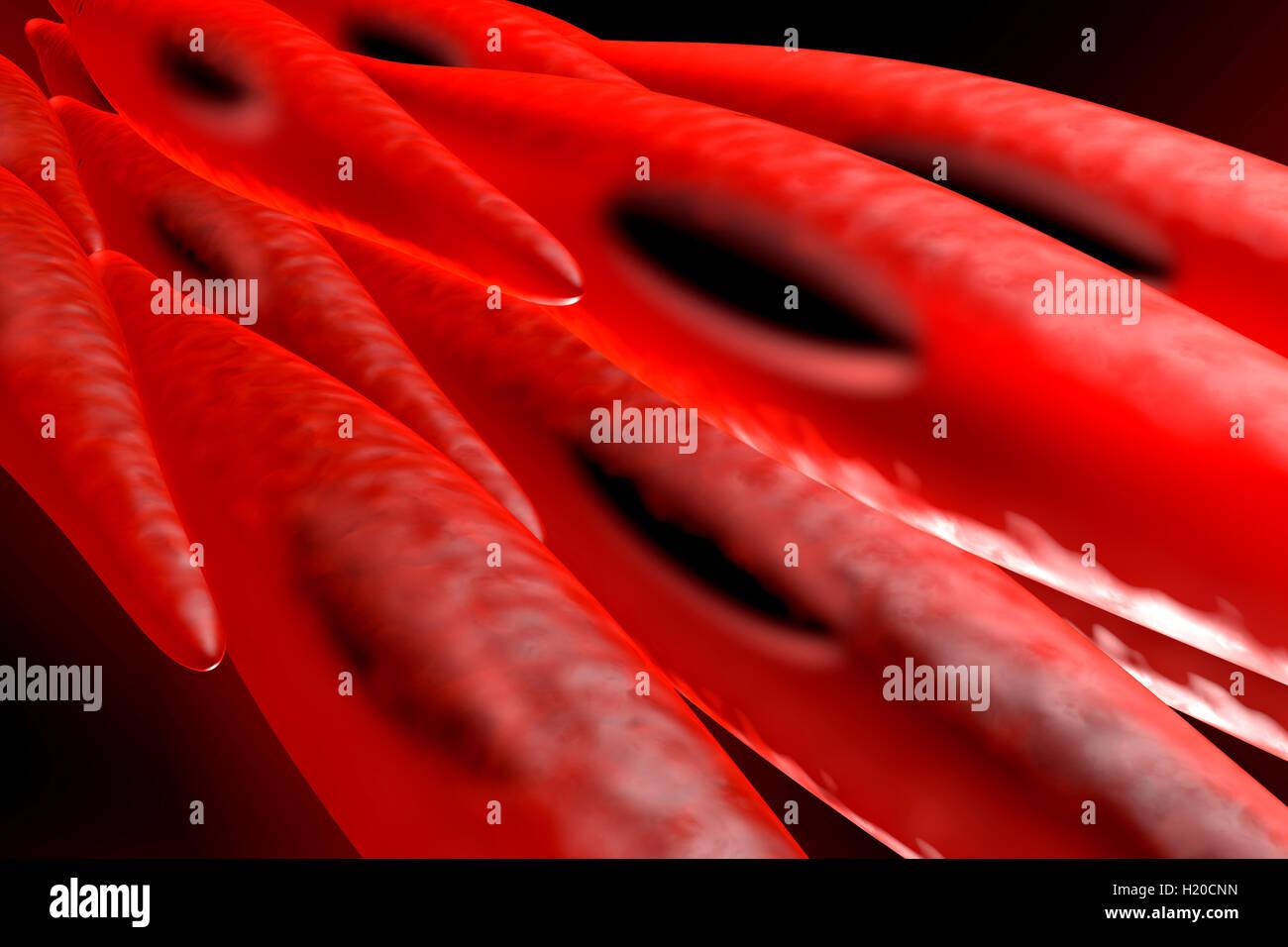 Berühmt Muskelzelle Bild Fotos - Physiologie Von Menschlichen ...