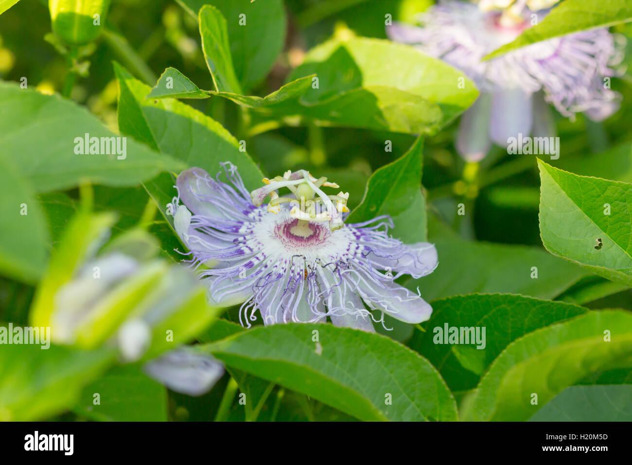 Lila Passionsblume / lila Ranke Passionsblume (Passiflora Wurzelsud), Indiana, Vereinigte Staaten Stockfoto