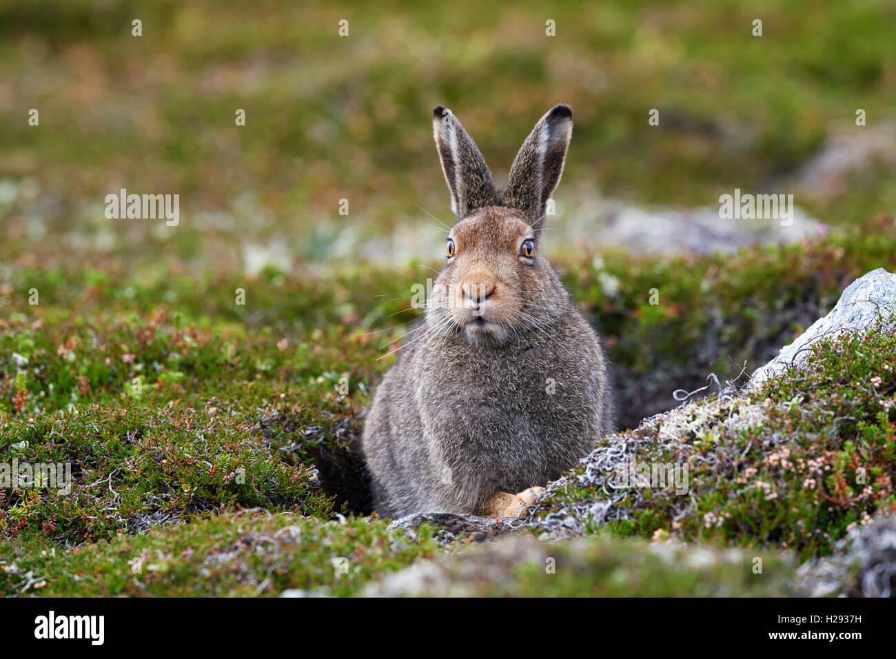Schneehase (Lepus Timidus), Schottland, Vereinigtes Königreich Stockbild