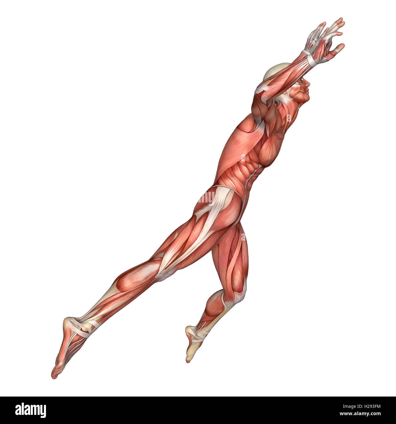Niedlich 3d Anatomie Muskeln Zeitgenössisch - Menschliche Anatomie ...