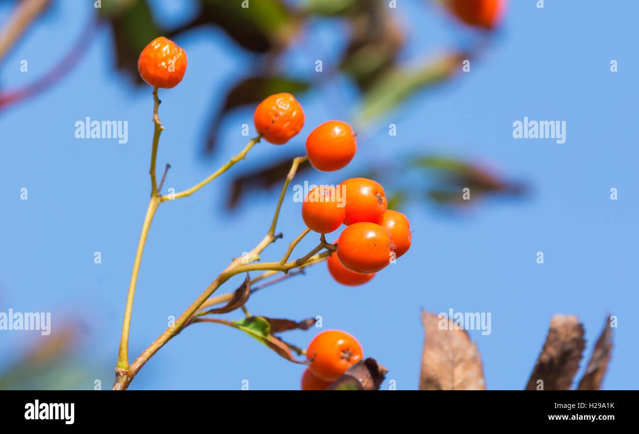 Rote Beeren aus einer Eberesche (Sorbus aucuparia oder Mountain Ash tree) im frühen Herbst in Großbritannien. Stockbild