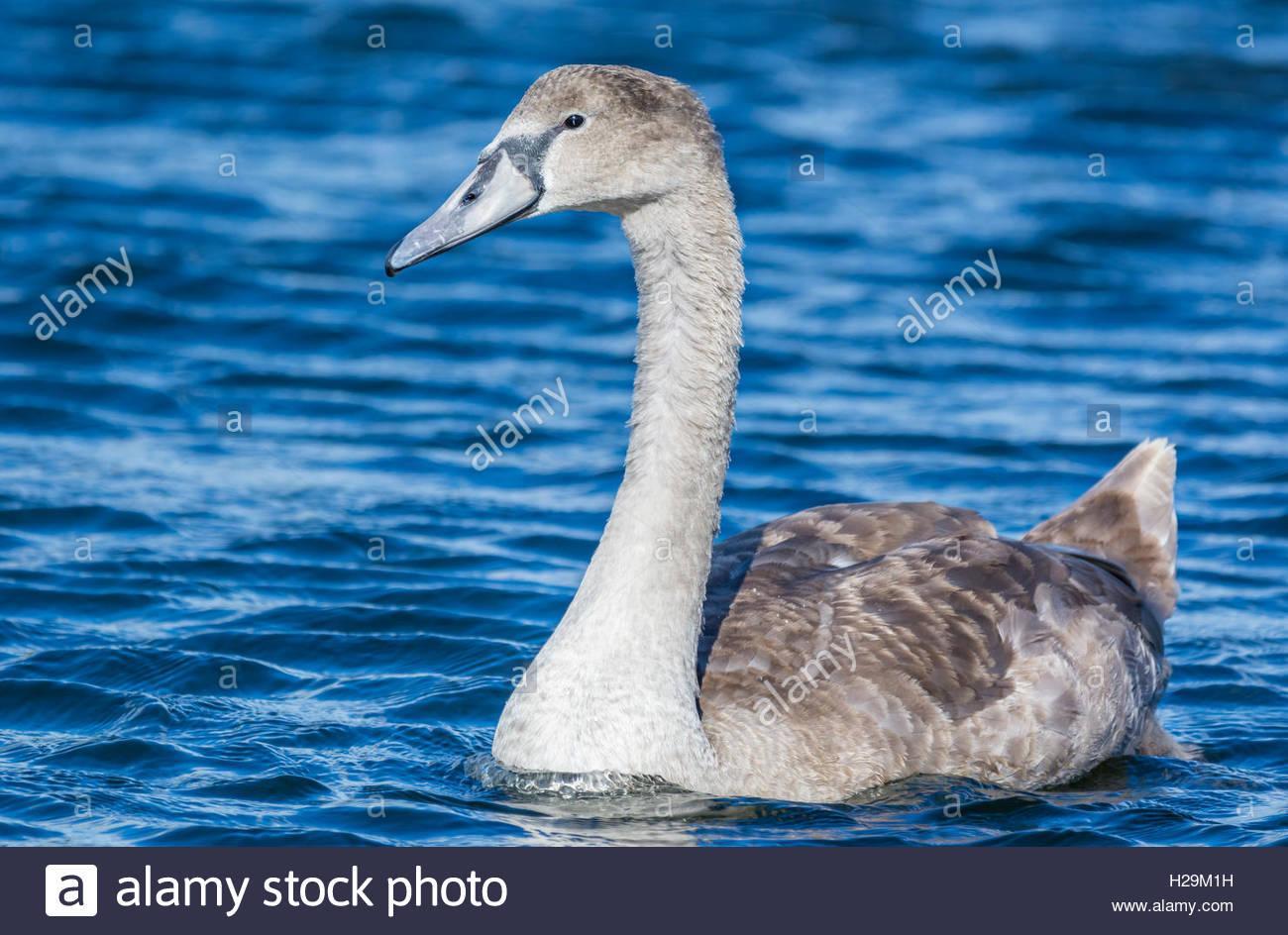 Weiße Mute Swan Cygnet (Cygnus Olor) auf einem abgehackten blauen See schwimmen. Stockbild