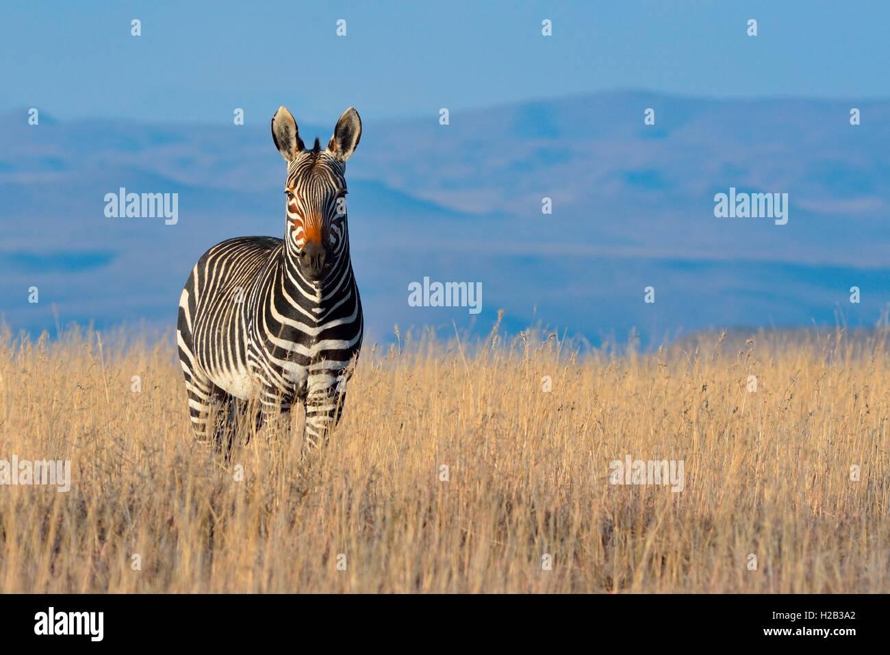 Cape Mountain Zebra (Equus zebra Zebra), im trockenen Gras stehend, Mountain Zebra National Park, Eastern Cape, Stockbild