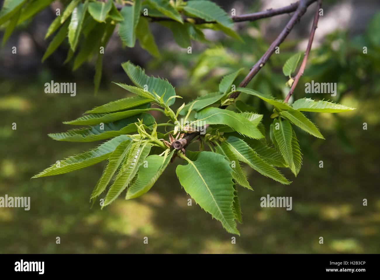 Kastanien Zweig in einem park Stockbild