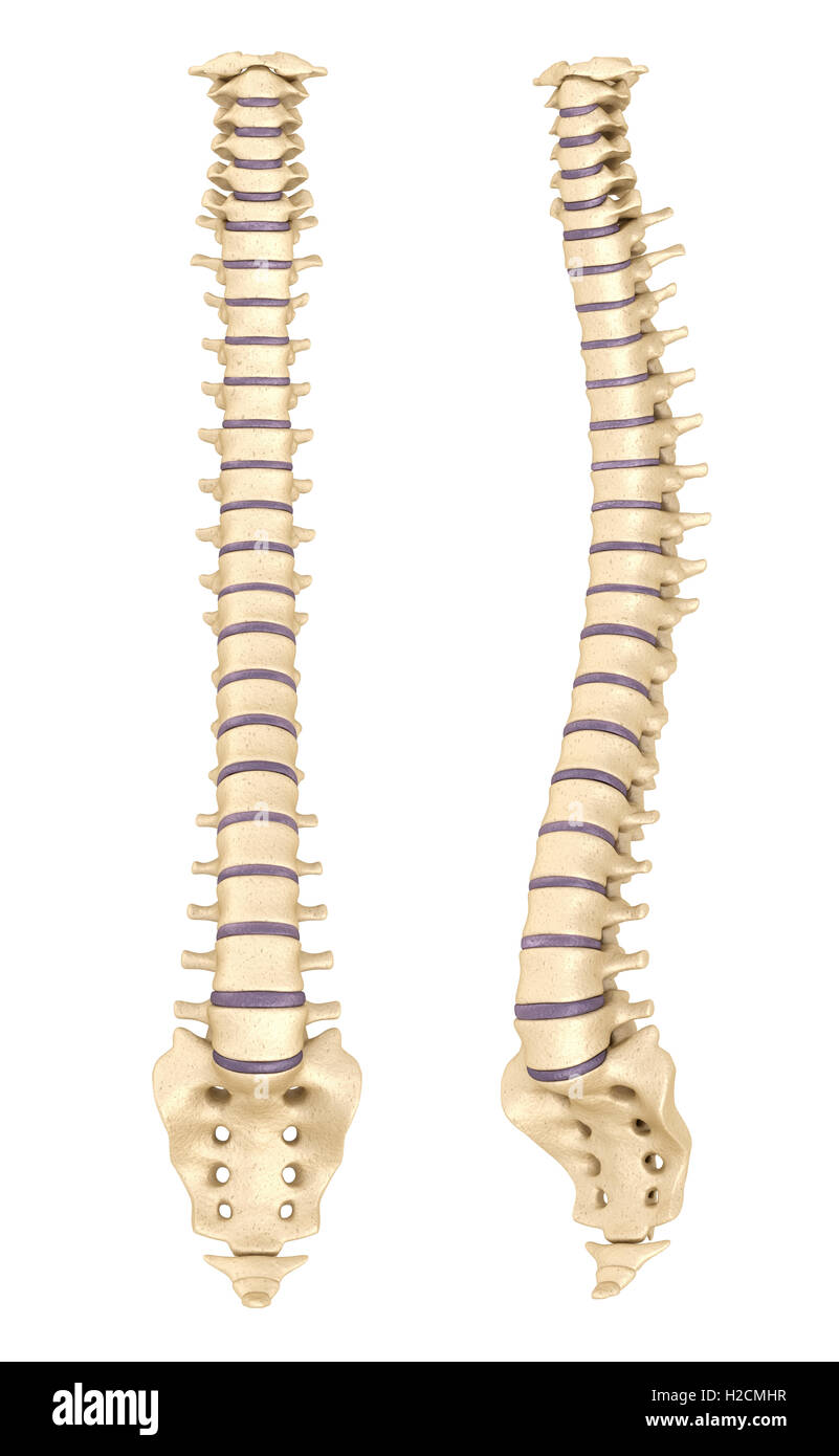 Wirbelsäule Anatomie, 3d render Stockfoto, Bild: 121981491 - Alamy