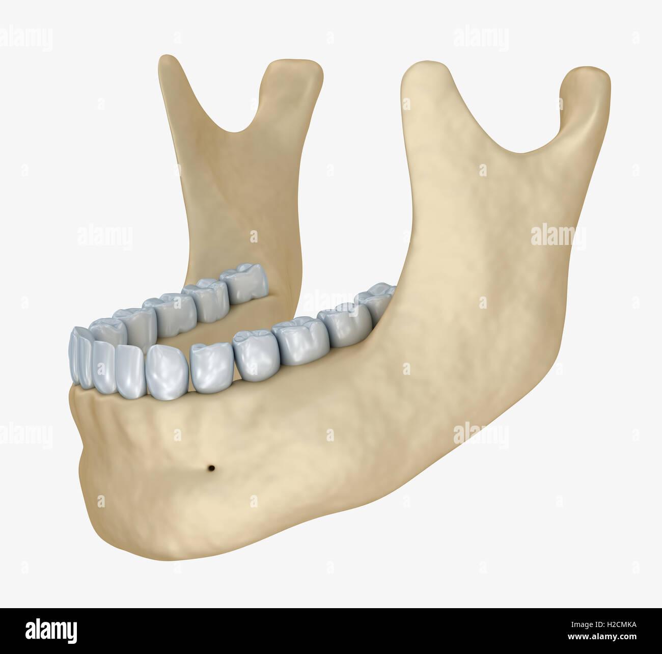 Unteren Kiefer Skelett und Zähne Anatomie. Medizinische präzise 3D ...