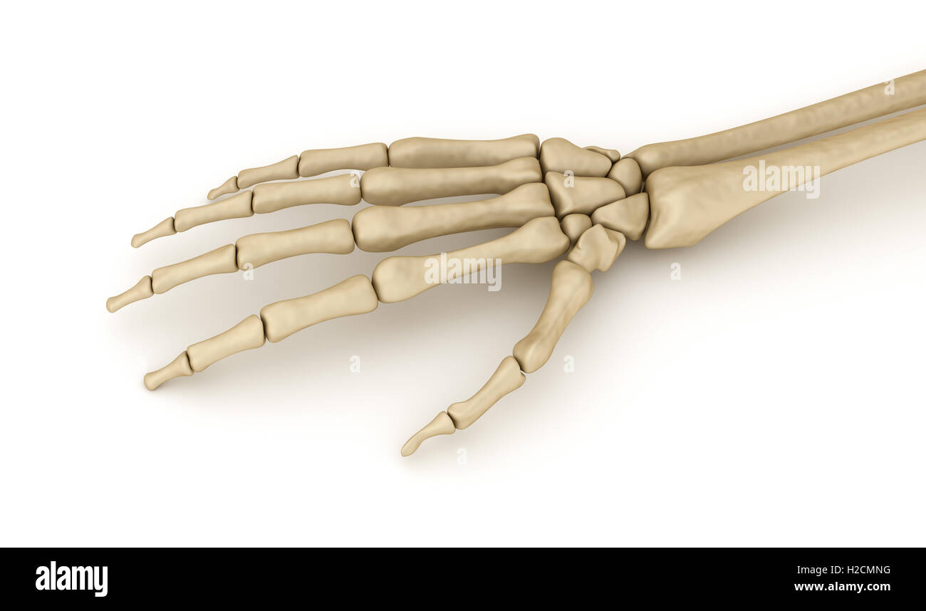 Menschlichen Handgelenk Skelett Anatomie. Medizinisch genaue 3D ...