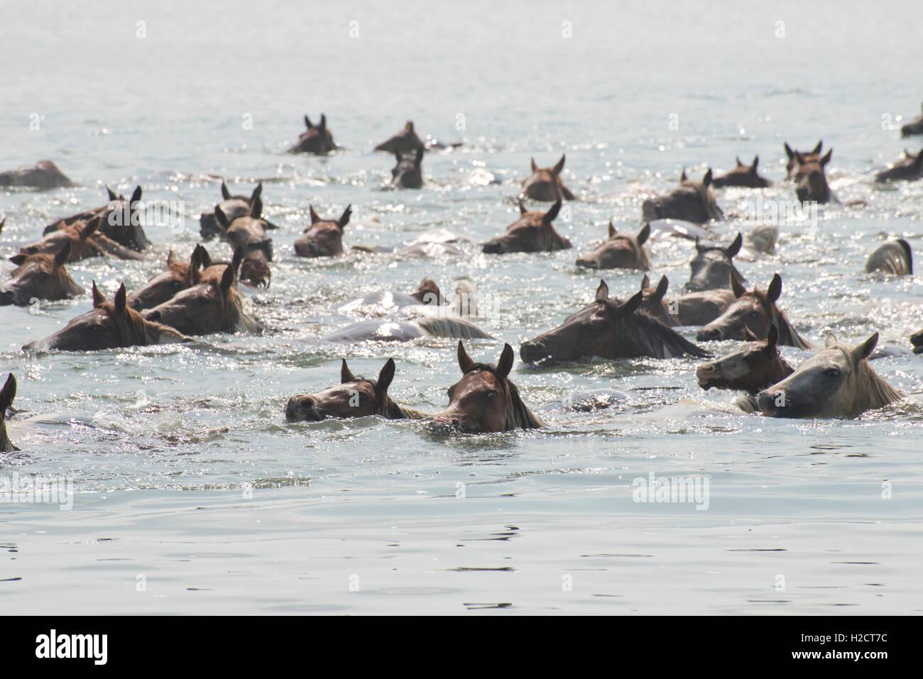 Eine Herde von wilden Ponys schwimmen über den Kanal von Assateague Insel Chincoteague Island während Stockbild