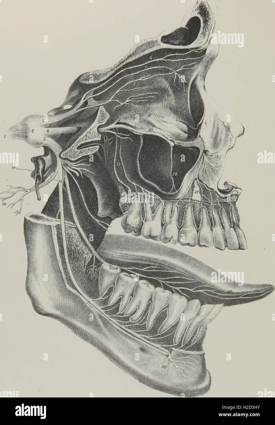 Nervus Trigeminus; Anatomie, Physiologie und Pathologie des ...