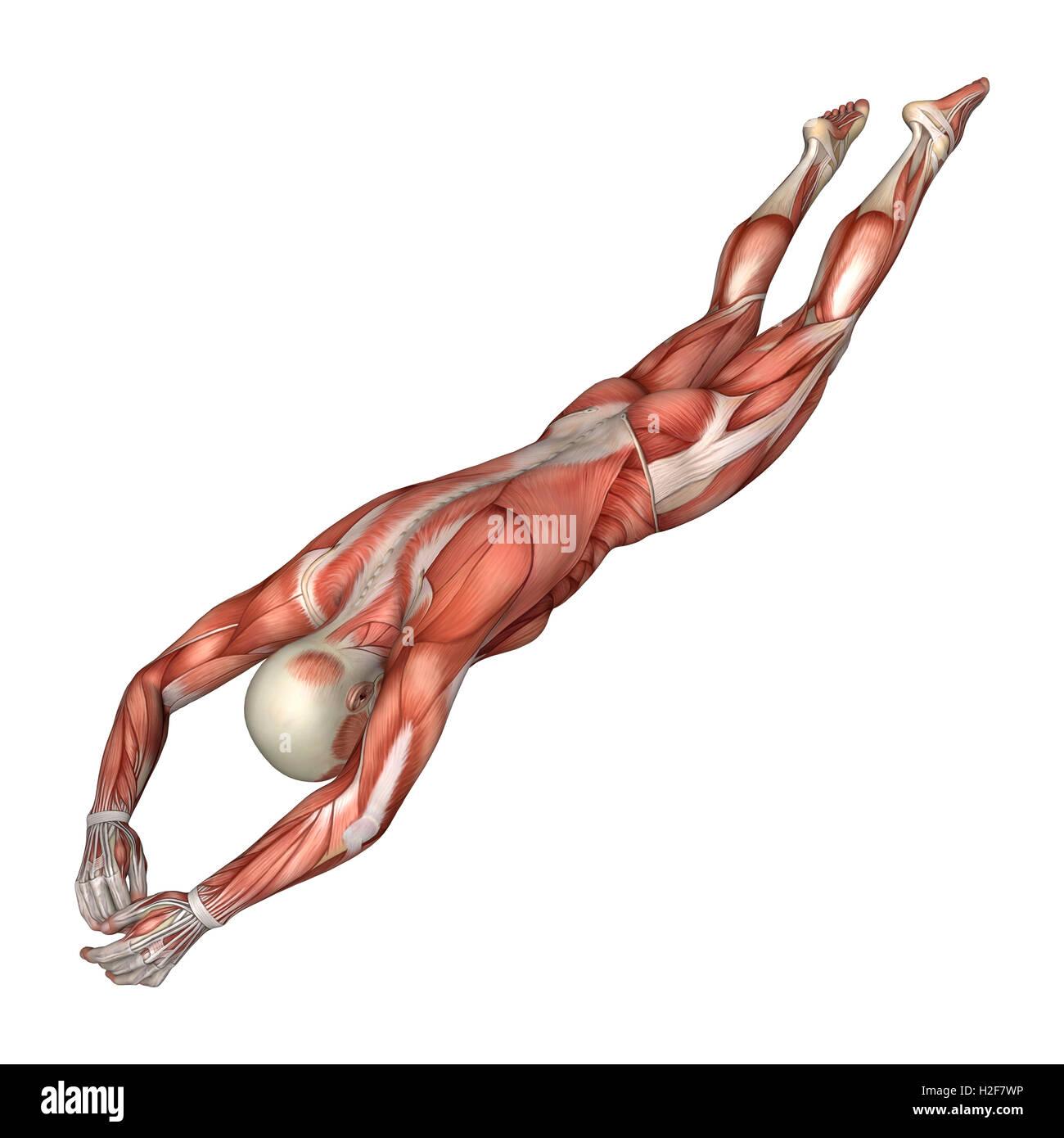 3D-Rendering einer männlichen Anatomie-Figur mit Muskeln Karte ...