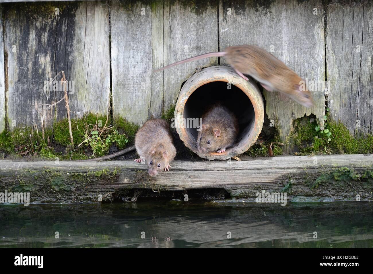 Braune Ratten Rattus Norvegicus um Abfluss Rohr-Thetford Norfolk Stockbild