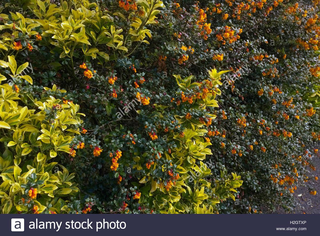 Gemischte immergrüne Garten Hecke mit Berberis Darwinii und