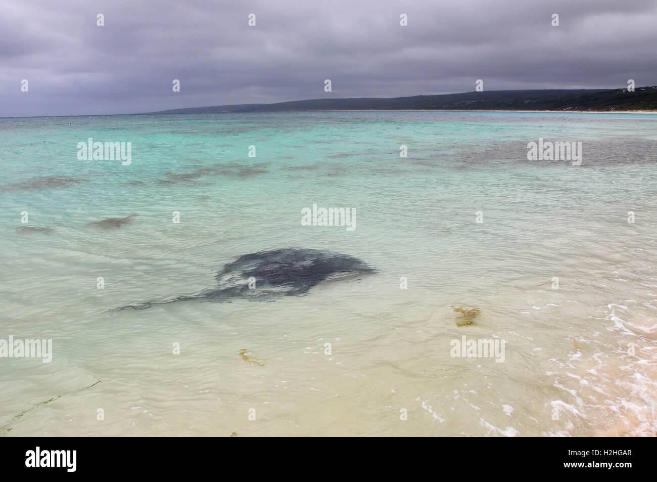Stingray Hamelin Bay Stockfotos & Stingray Hamelin Bay Bilder - Alamy